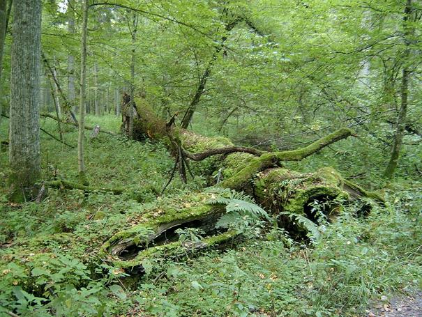 Puszcza Białowieska – ostatni w Europie fragment lasu pierwotnego